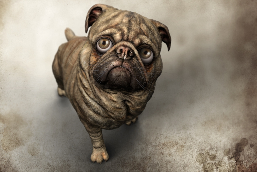 Pug desire